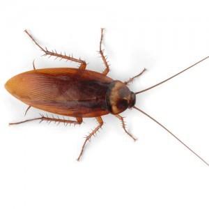 american-cockroach-lg-300x300
