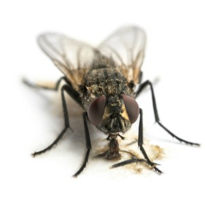 house-fly-control-mn-300x300