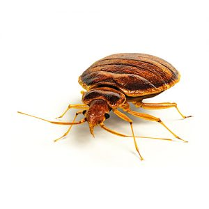 thumb-wiki-bed-bugs