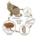 fleas-life-cycle-300x300