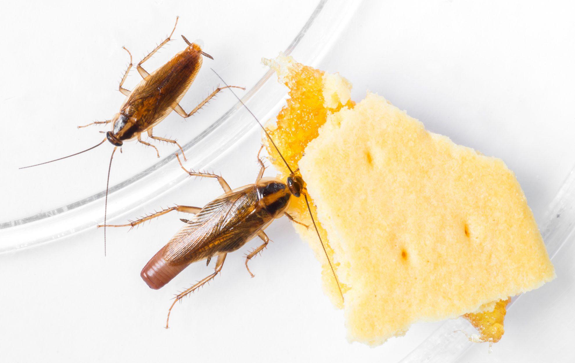 Blattella germanica german cockroach eating pineapple filled biscuit