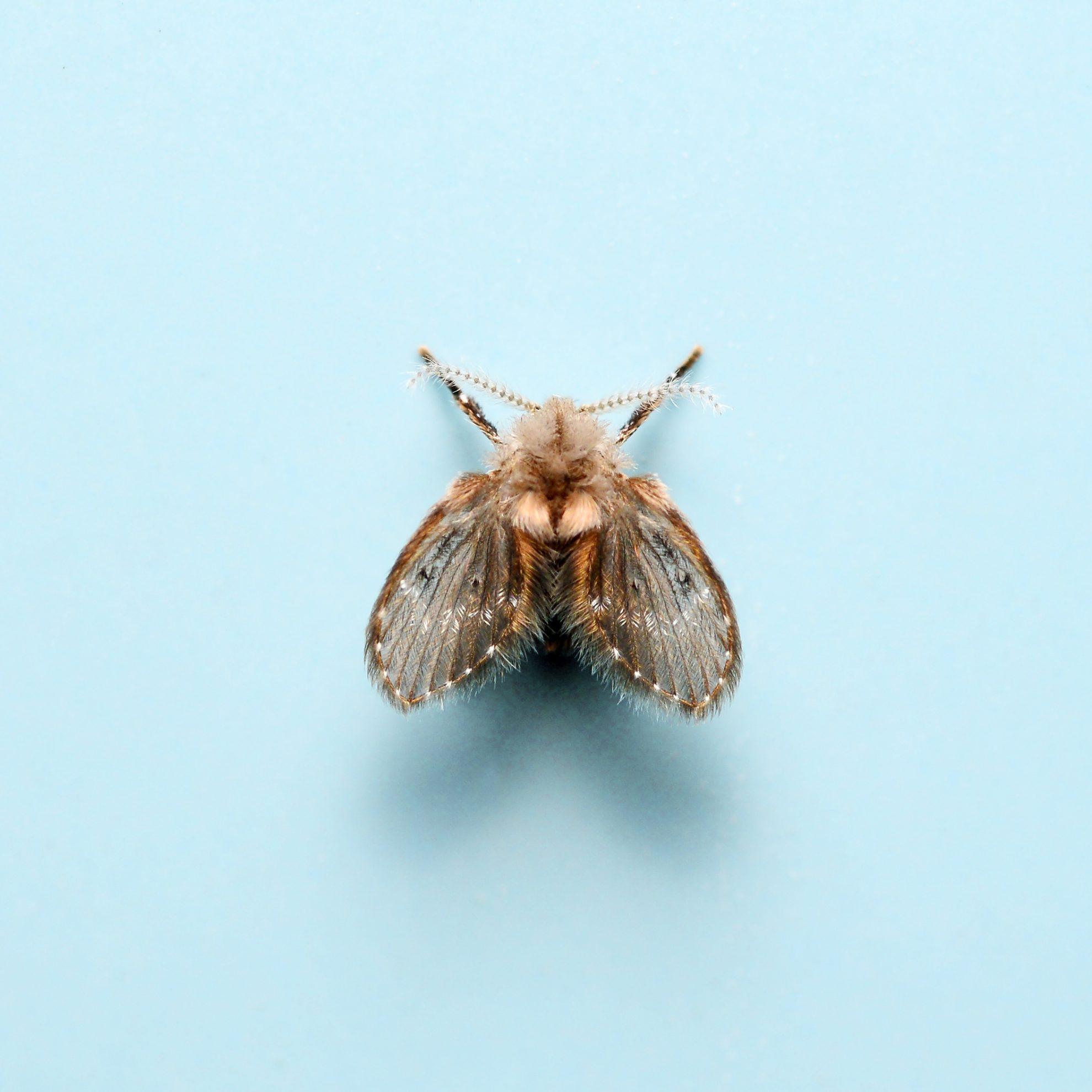Moth fly or drain fly (Clogmia albipunctata / O: Diptera, F: Psy